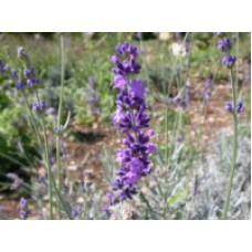 Lavande vraie - Lavandula angustifolia