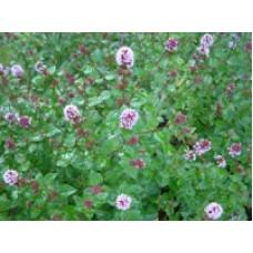 Menthe poivrée - Mentha x piperita - Pot 9cm