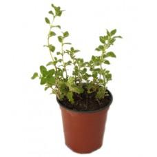 Origan commun compact - Origanum vulgare Compactum - Pot 9cm