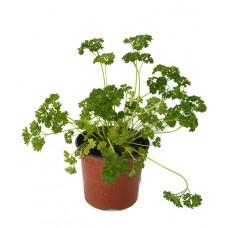 Persil plat ou frisé - Petroselinum crispum - Pot 10,5cm