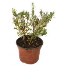 Romarin rampant ou dressé - Rosmarinus officinalis - Pot 12cm