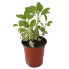 Sauge officinale  - Salvia officinalis - Pot 9cm