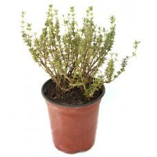 Thym commun vert ou panaché - Thymus vulgaris - Pot 12cm